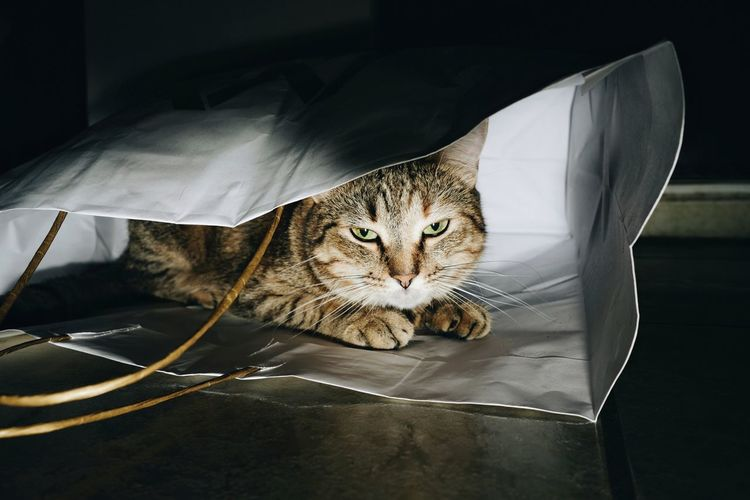 Portrait Of Cat Sitting In Shopping Bag At Home