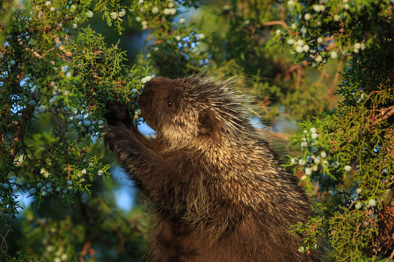 Porcupines eating berries on tree