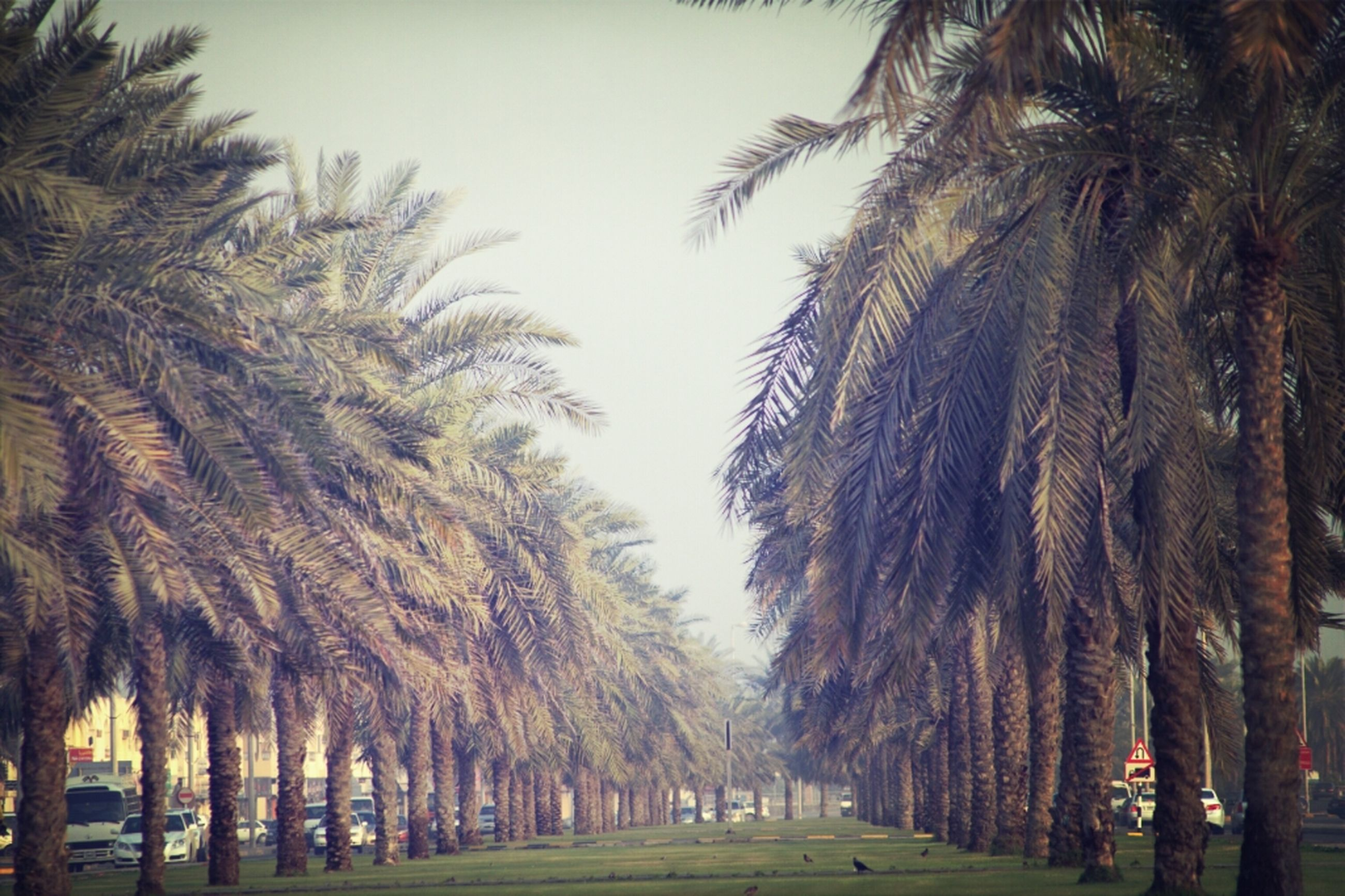 palm tree, tree, treelined, growth, tree trunk, tranquility, sky, nature, clear sky, tranquil scene, beauty in nature, road, scenics, the way forward, incidental people, transportation, outdoors, coconut palm tree, street, day