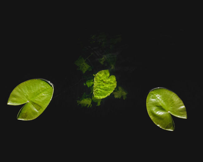 High angle view of green leaves against black background