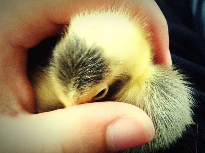 Duck Duckling Artistic Domestic Animal Tiny Adorable Cute Avian Bird Photograph All Grown Up ;) Cropped Hand Best Picture Ever Baby Zeus Cutie Indoors  Human Finger Pampered Pets Close-up Selective Focus Pets One Animal Young Animal First Eyeem Photo