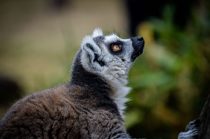 Close-up of lemur outdoors