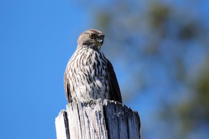 Low angle view of hawk perching on wooden post