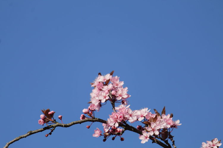 Close up of blooming tree with pink flowers in spring