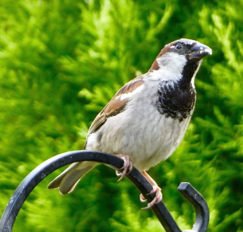 Bird Animal Themes Animals In The Wild One Animal Focus On Foreground Animal Wildlife No People Day Perching Outdoors Nature Close-up Sparrow Tree