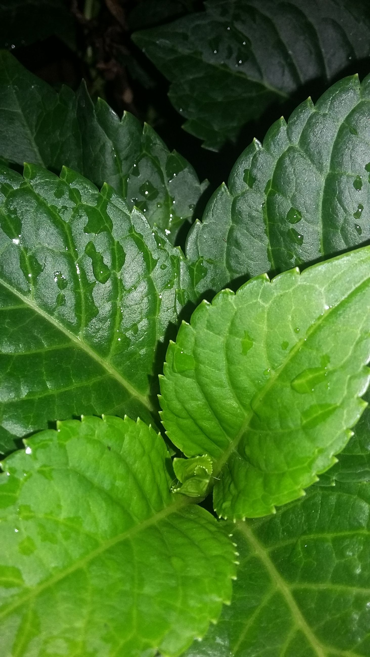 leaf, green color, growth, leaf vein, close-up, freshness, plant, nature, full frame, natural pattern, beauty in nature, backgrounds, drop, leaves, wet, green, high angle view, water, no people, fragility