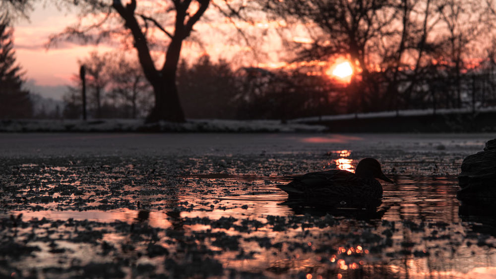 Hungary Beauty In Nature Cold Temperature Duck In The Lake Lake Nature Outdoors Silhouette Sunset Tree Water Wild Duck Winter