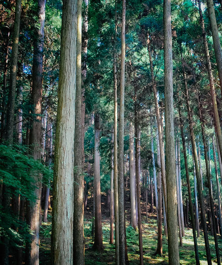Sacred Forest in Kyoto Japan Japan Photography Japanese  Abundance Bamboo Bamboo - Plant Beauty In Nature Forest Growth Kyoto Land Nature No People Non-urban Scene Outdoors Plant Rainforest Scenics - Nature Totoro Tranquil Scene Tranquility Tree Tree Trunk Trunk WoodLand