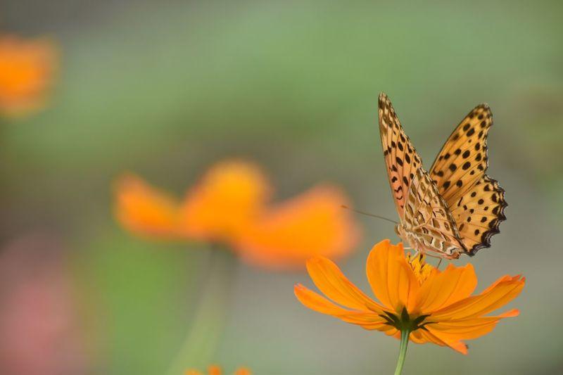大人気ない自分(笑)😝😝😝😝😝 Flower Beauty In Nature Close-up Butterfly Nature Orange Color コスモス キバナコスモス Cosmos ツマグロヒョウモン 口元のストローが見えてないから負けてるし〜😢 写真って面白い。同じ被写体で同じようなアングルで撮っても、ちゃんと違う。写し手の個性がちゃんと写り込む。と、私は思うのよね〜♪