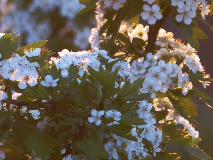 kissed by the eveningsun Kissed By The Sun View From My Window Lucky Me🦄 For My Friends😚 Shine On😚 Beautiful Light Wonderful Mood Mood Capture Simple Photography Simple Beauty Surrounded By Nature Golden Hour Capture The Moment Tree Branch Springtime Blossom Botany Close-up