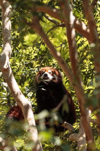 Red panda on tree branch
