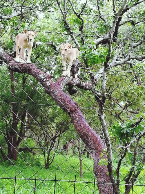 The Queens Of The Jungle She Lion Beauty Beautiful Nature African Safari Wildlife Park African Lioness