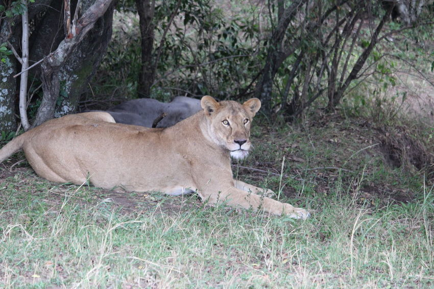Africa Animals Kenya Landscape Lion Lion Hunting Masai Mara Nature Nature Photograhy Nature Photography Safari