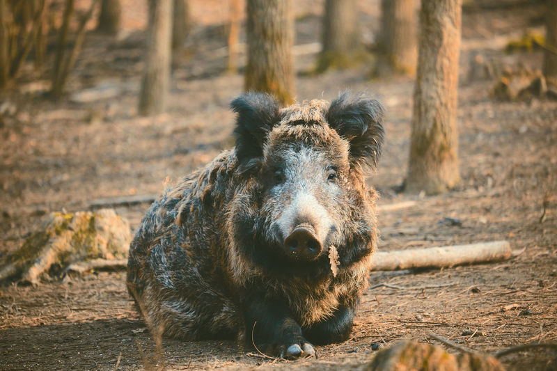 Wild boar sitting by trees in forest