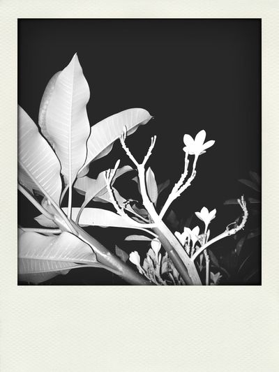 home is where the flowers are... Frangipani Flower Hello World Bali