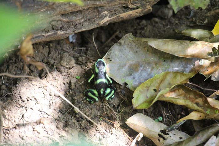 Animal Wildlife Animals In The Wild Close-up Frog Pfeilgiftfrosch Poison Arrow Frog Rainforest Tropical Climate