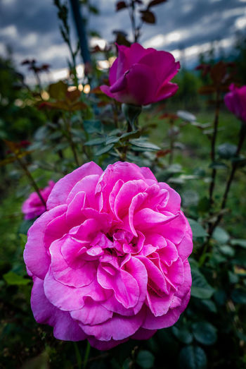 Flowering Plant Flower Plant Vulnerability  Pink Color Beauty In Nature Fragility Petal Freshness Flower Head Inflorescence Close-up Focus On Foreground Growth Nature No People Day Rosé Outdoors Field Purple