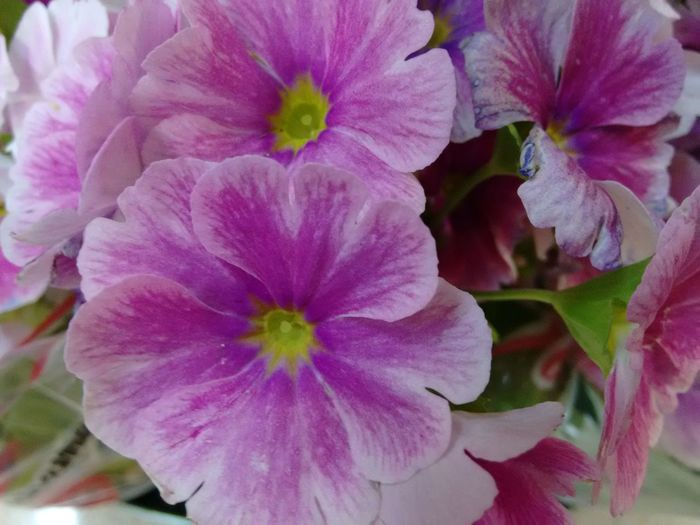 Cineraria Daisy Flowering Plant Beauty In Nature Bloom, Blossom, Floweret, Floret Blooming Blossom Close-up Colored Colorful Day Feverfew Floriferous Florist's Cineraria Flower Flower Head Fragility Freshness Full Frame Growth Nature No People Outdoors Petal Plant