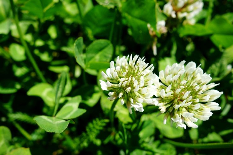 Flower Plant Nature Green Color Leaf Flower Head Close-up Outdoors No People Beauty In Nature Day Four-leaf Clover Clover Flower Cloverleaf Clover Field Cloverflower