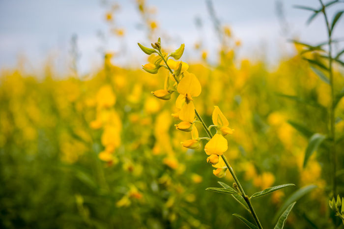 Agriculture Beauty In Nature Close-up Crop  Crotalaria Juncea Farm Field Flower Flower Head Flowering Plant Fragility Freshness Growth Land Landscape Nature No People Oilseed Rape Outdoors Plant Rural Scene Springtime Sunn Hemp Vulnerability  Yellow