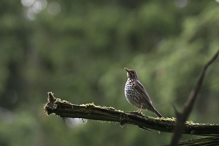 Close-up of thrush perching on twig