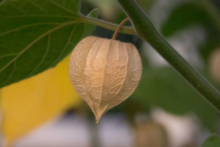 Phisalis Fruit