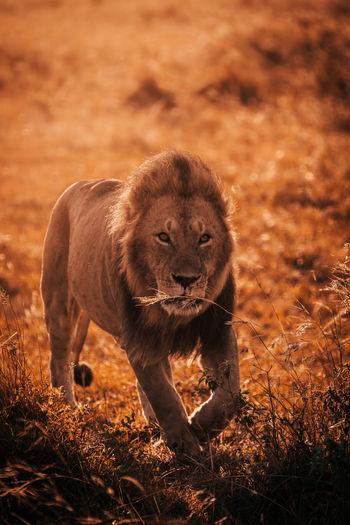 Portrait of lion walking on land