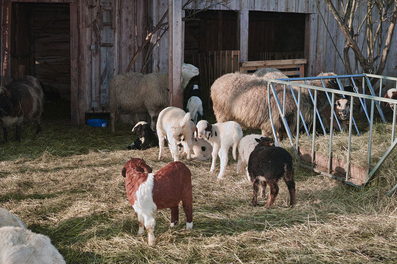 Lammer Schäfchen Weide Animal Themes Day Domestic Animals Grass Grazing Livestock Mammal Nature No People Outdoors Sheep Stall Young Animal