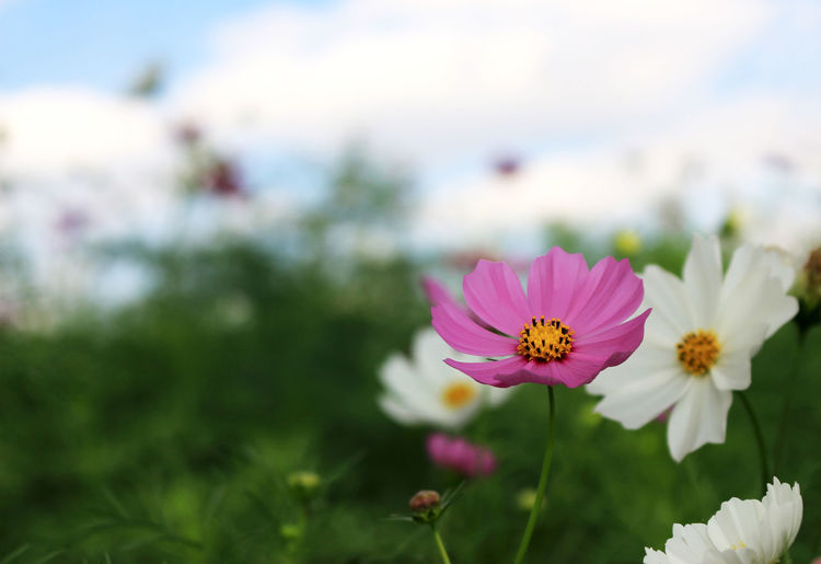 Flower Cosmos Mexico Land Outdoor Aster Blooming Meadow Bud Green Floral White Spring Autumn Petal Sunrise Red Field Botanical Sunny Orange Grass Summer Light Blossom Evening Bloom Morning Grassworld Sunshine Macro Flora Chrystal Garden Plant Early Beauty Sunset Bipinnatus Sky Beautiful Nature Dew Sunlights Drops Fragility Growth Cosmos Flower Pollen Flower Head
