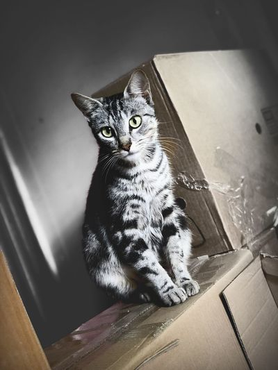 Boxes Gray Animal Themes Animal One Animal Cat Domestic Cat Pets Domestic Vertebrate Feline Indoors  Domestic Animals No People Mammal Sitting Home Interior Looking Close-up Whisker Animal Body Part Box
