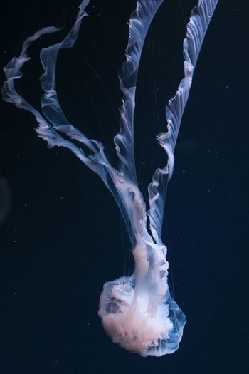 Close-up of jellyfish against black background