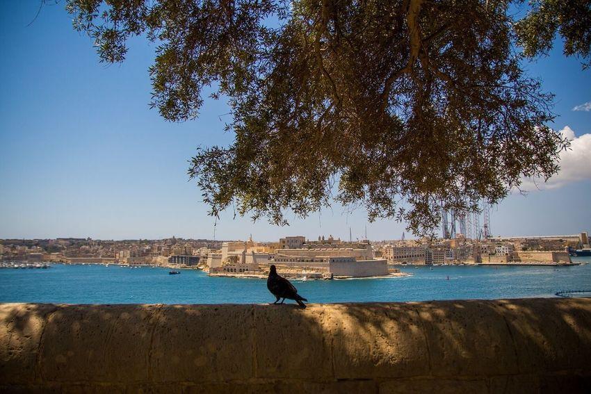 Pigeon Nature View City Valetta Malta Maltaphotography Architecture Citysightseeing Travel Travelling Travelling Photography