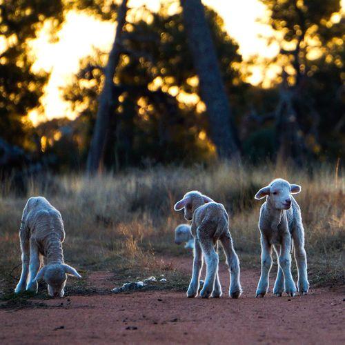 Lambs at sunset