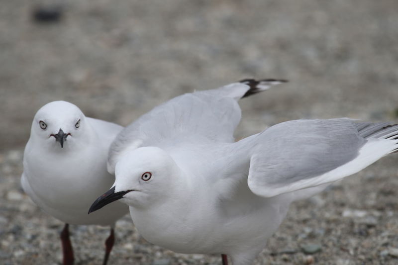 Animal Themes Animal Wildlife Animals In The Wild Couple Day Living Organism Nature Outdoors Seagulls Seagulls On The Ground Symbols Of Peace Togetherness