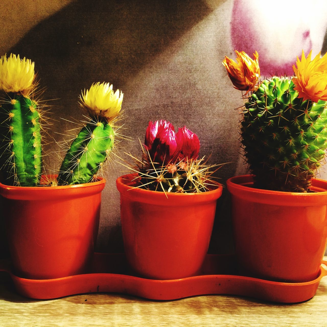 Potted Cactus Flowers On Floor At Home