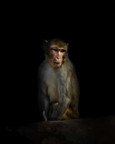 Majestic. EyeEm Best Shots Majestic Mammal Sitting Primate Animal Wildlife Black Background Studio Shot No People Copy Space Vertebrate Looking At Camera Portrait Indoors  Ape Ominous Looking Animals In The Wild Baboon