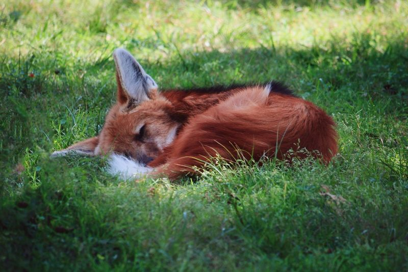 Field Fox Grass Mammal Nature No People One Animal Outdoors Sleep