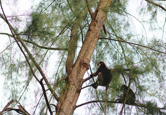 Looking Pine Tree Sitting Cute Krabi Krabi Thailand Lanta National Park Climbing Monkey Tree Low Angle View Branch Animals In The Wild Animal Wildlife Nature Animal Themes Forest Perching Day No People Beauty In Nature Growth Outdoors Sky