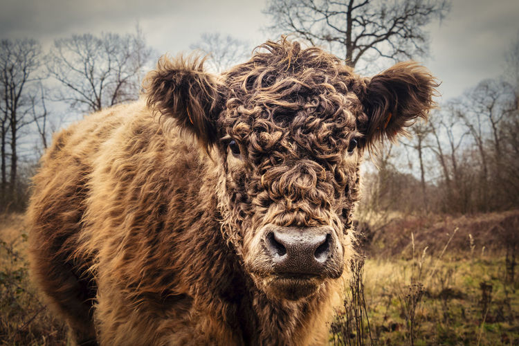 Close up os a galloway cattle