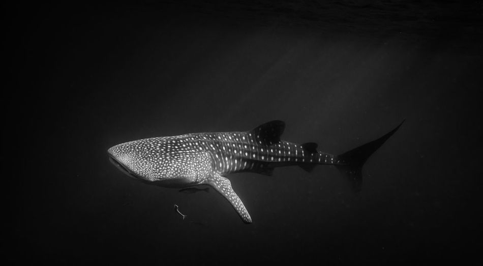 Side View Of Whale Shark Swimming Underwater
