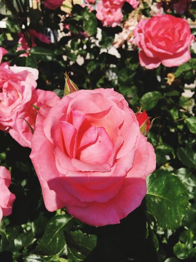 Flower Beauty In Nature Pink Color Rose - Flower Plant No People Day