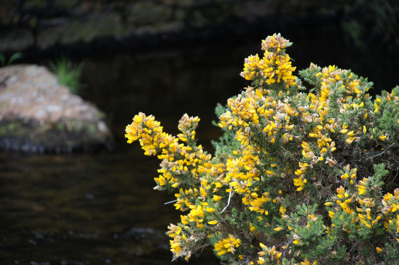 Flowers on Dartmoor Flower Plant Flowering Plant Beauty In Nature Fragility Freshness Growth Yellow Focus On Foreground Outdoors Close-up Tranquility Botany