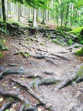 Wanderweg Teutoburger Wald Teutoburg Forest Radwandern Tree Treeroots Roots Of Tree Rootsystem Sandebeck Outdoors Tree Forest Day Tree Trunk Nature No People Growth Beauty In Nature Leopoldstal Green Color Silberbachtal Silberbach Ausflugsziel Horn-Bad Meinberg Leaf
