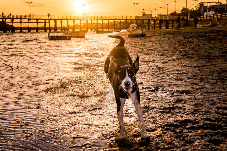 View of dog on beach during sunset