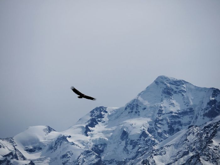 Flying eagle soaring high over snowcapped mountains