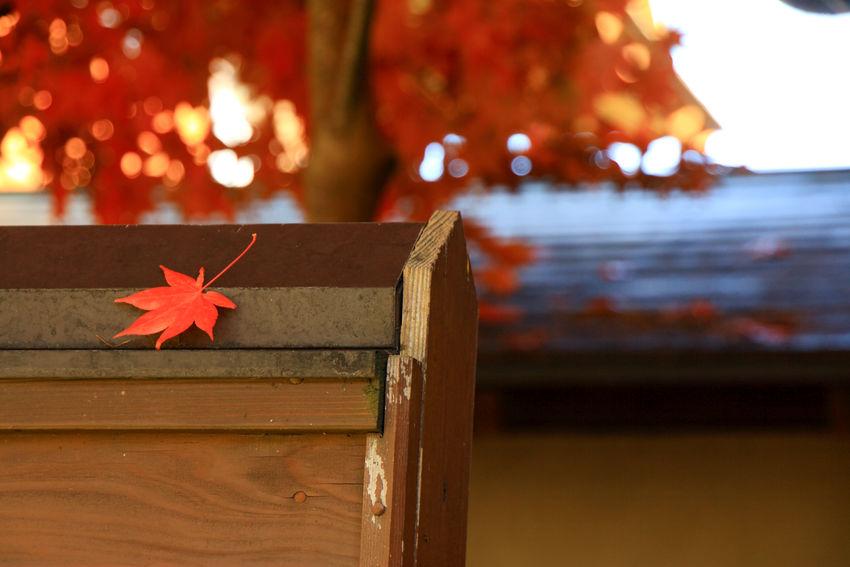 autumn leaves captured in a villa, Karuizawa Autumn Leaves Karuizawa,Japan Autumn Close-up Maple Maple Leaf Nature No People Red Villa 別荘 紅葉 軽井沢
