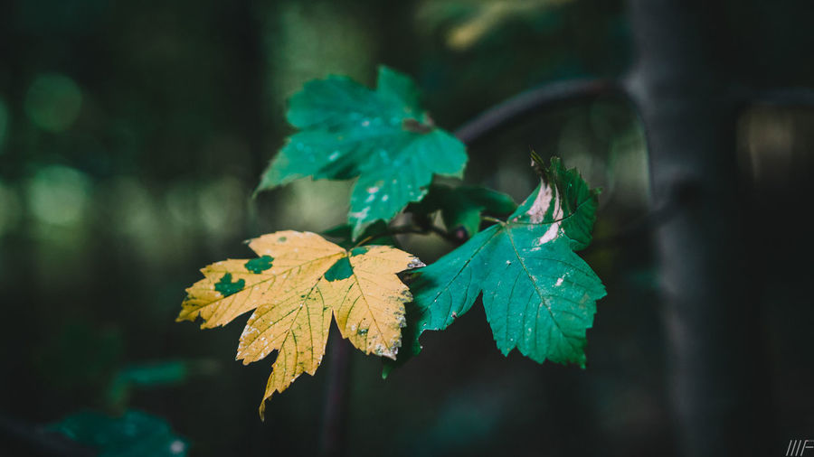 Plant Part Leaf Green Color Close-up Plant Growth Nature No People Focus On Foreground Beauty In Nature Day Selective Focus Outdoors Autumn Leaves Tree Vulnerability  Land Change Tranquility Maple Leaf Natural Condition