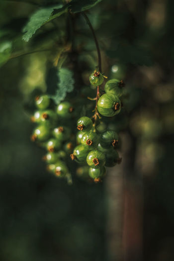 Closeup of green currant berries on a tree