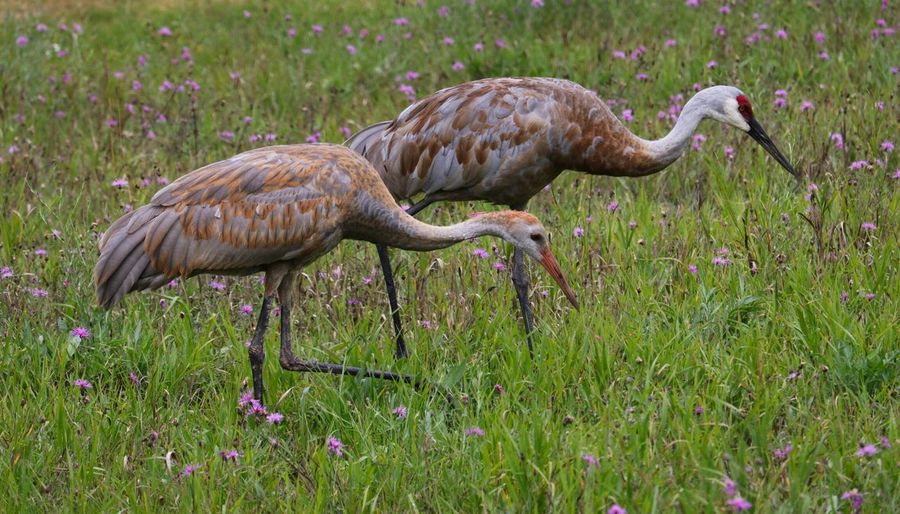 EyeEm Selects Sandhill Cranes Animals In The Wild No People Be. Ready. Cranes Protect Nature Protect Wildlife Balance Pair Of Birds Beauty In Nature