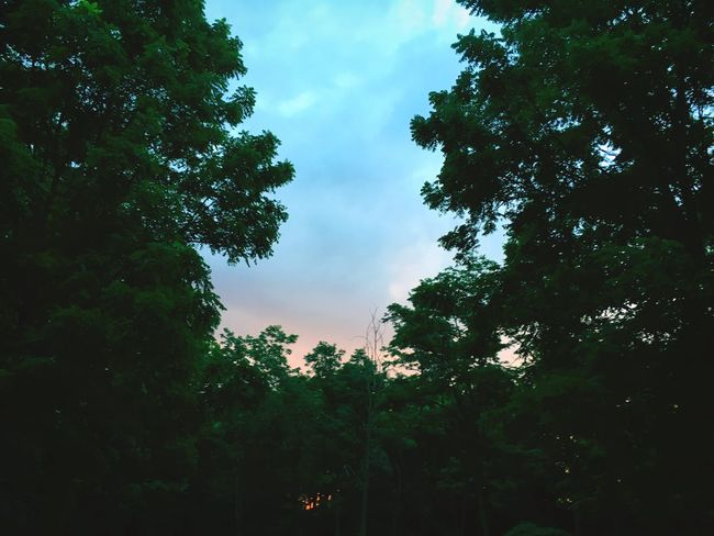 Tree Nature Sky Low Angle View Growth Beauty In Nature Outdoors Day Forest No People Scenics